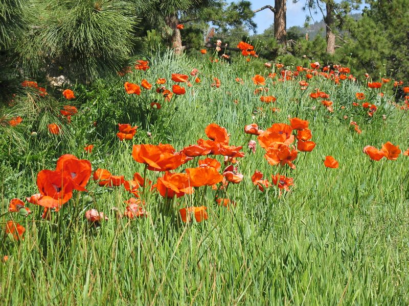 <b>Field of oriental poppies</b>   (Jun 22, 2003, 09:53am)