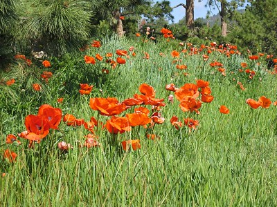 Field of oriental poppies   (Jun 22, 2003, 09:53am)
