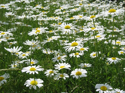 Field of daisies at Waltham YMCA   (Jun 15, 2003, 12:08pm)