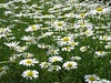 <b>Field of daisies at Waltham YMCA</b>   (Jun 15, 2003, 12:08pm)