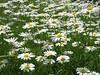 <b>Field of daisies at Waltham YMCA</b>   (Jun 15, 2003, 12:08pm)