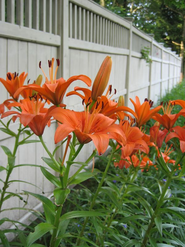 <b>Orange lilies and fence</b>   (Jul 09, 2003, 06:31am)