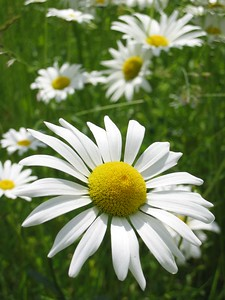 Vertical daisy composition   (Jun 15, 2003, 12:07pm)