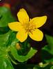 <b>Marsh Marigold flower</b>   (Apr 30, 2006, 02:04pm)