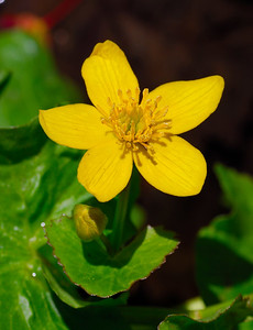 Marsh Marigold flower   (Apr 30, 2006, 02:04pm)