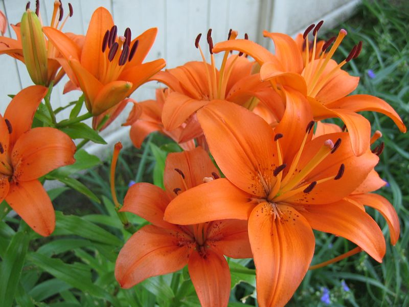 <b>Orange lilies on Spring St in Lexington</b>   (Jul 09, 2003, 06:32am)