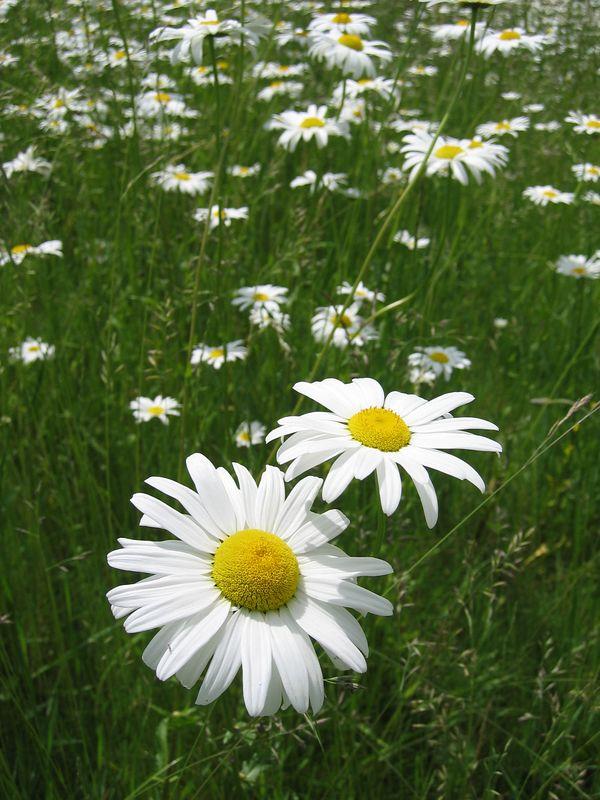 <b>Double daisy in field</b>   (Jun 15, 2003, 12:13pm)