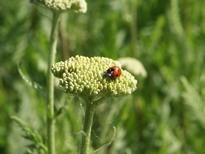 Queen Anne's lace and ladybug   (Jun 23, 2003, 08:30am)