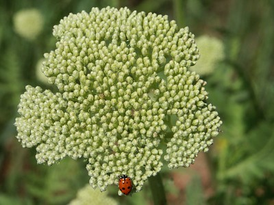Queen Anne's lace and ladybug   (Jun 22, 2003, 09:56am)