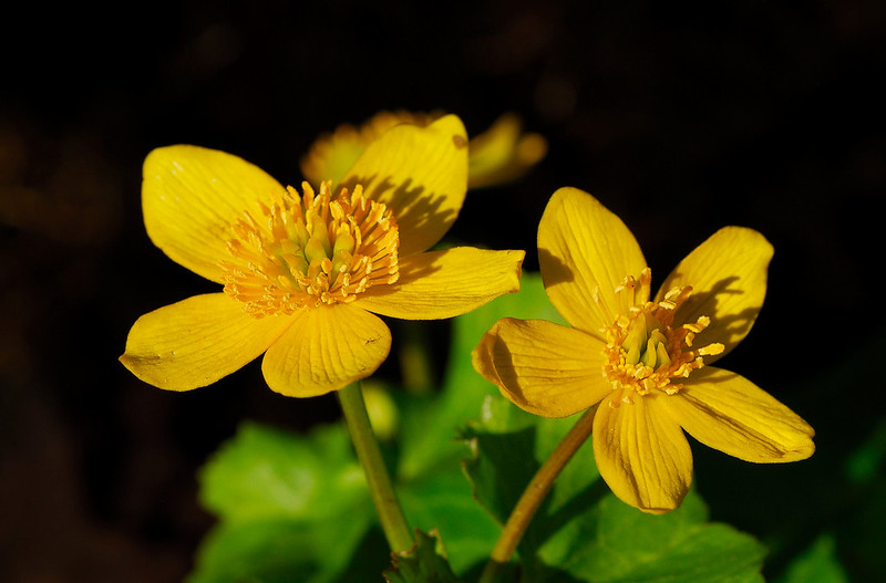 <b>Marsh Marigold flowers</b>   (Apr 30, 2006, 02:05pm)