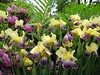 <b>Iris arrangement at Winchester town day</b>   (Jun 08, 2003, 02:40pm)