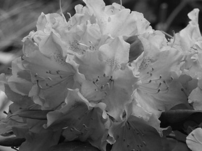 Rhododendron in black and white from town day   (Jun 07, 2003, 09:26am)