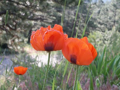 Oriental poppies   (Jun 23, 2003, 08:23am)