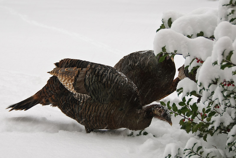 Turkeys eating holly berries, right outside our front door