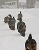 Turkeys walking through the snow, across our front lawn