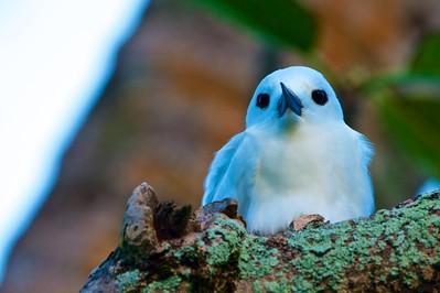 Tropical Snowbird