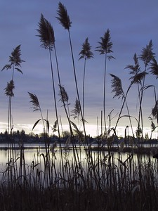 Phragmites at edge of Fising Cove   (Feb 10, 2002, 08:07am)