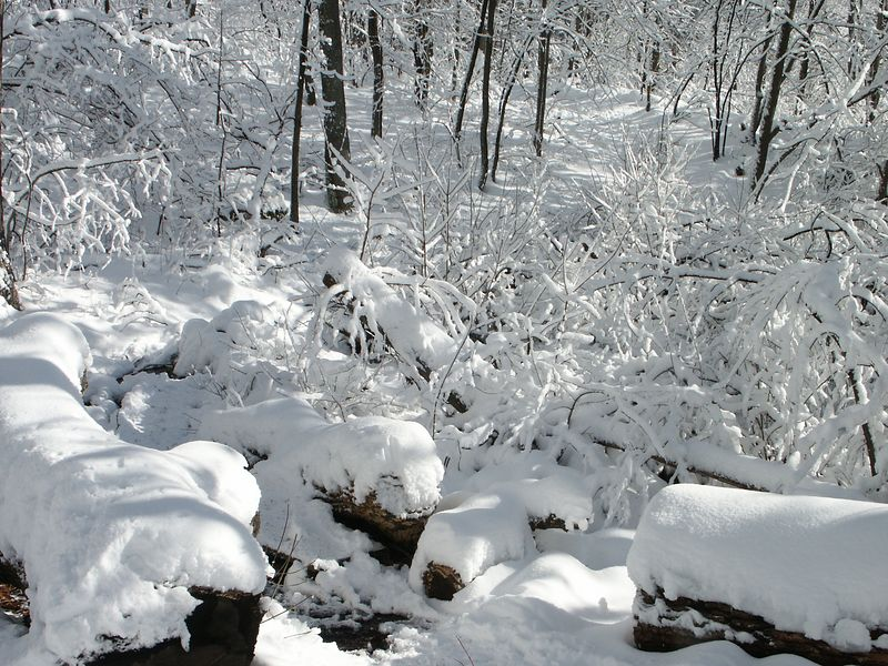 <b>Trail through the snow covered branches</b>   (Jan 05, 2003, 11:11am)
