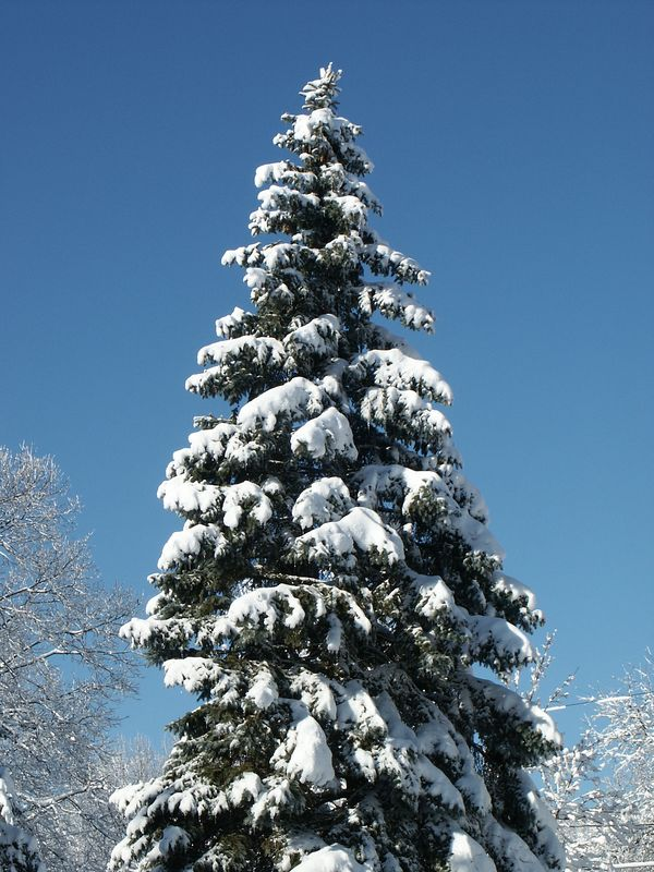 <b>Nature's Christmas Tree</b>   (Jan 05, 2003, 11:48am)