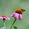 Zabulon Skipper Butterfly