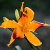 'Tweaked Out' Daylily