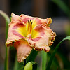 'Border Blessed' Daylily