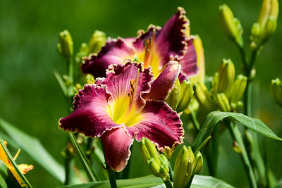 Daylily 'Born to Reign'