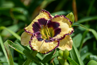 Daylily 'Special Candy'