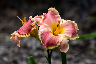 Lovely daylily 'Butterfly Ann'