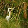 great egret in papyrus