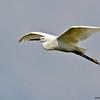 little egret in flight