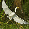great egret takeoff