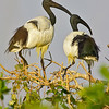 sacred ibis pair