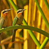 white-fronted bee-eater pair