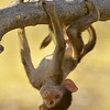 young baboon hanging from branch