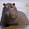common hippopotamus in the river