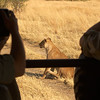 lion viewing from open truck