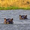 common hippopotamuses  in the river