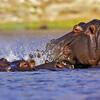 common hippopotamuses in rthe river