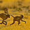 pair of young baboons running