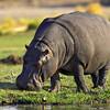 common hippopotamus grazing