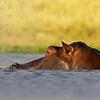 common hippopotamus exhaling