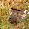 baboon in flowers