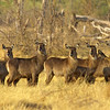 herd of attentive female waterbuck