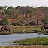 common  hippopotamuses grazing