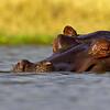 common hippopotamus cow and calf