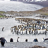 king penguins 7 glacier, salisbury plain, south georgia