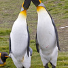 king penguin pair
