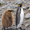king penguin & plump juvenile