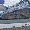 king penguins at royal bay